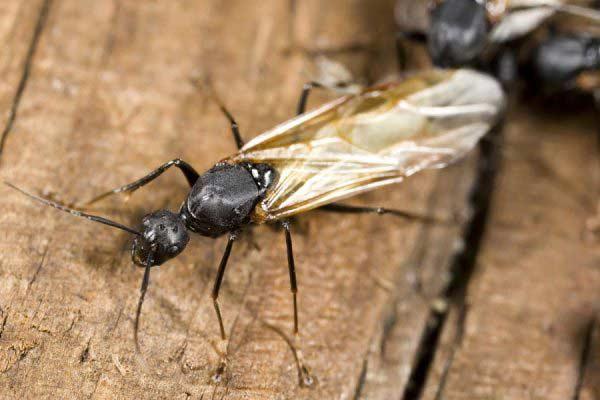 Ants Control