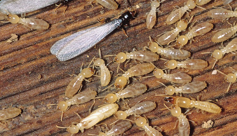 When And Why You Need Termite Treatment?