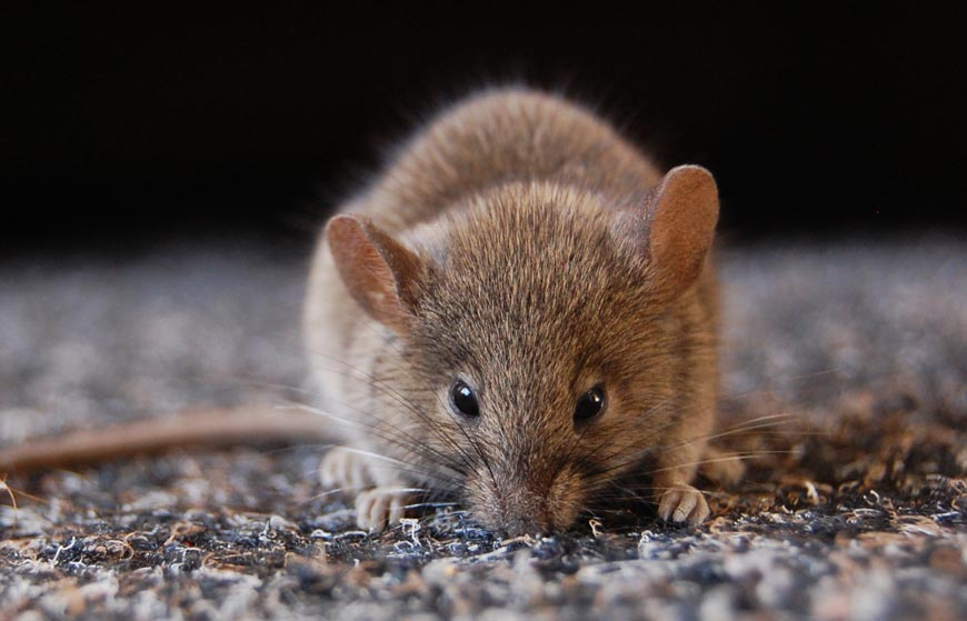 Most Common Rodents and How to Get Rid of Them