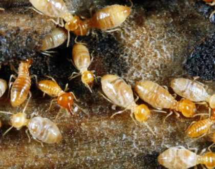 Main Reasons Why You Should Invest in Termite Control
