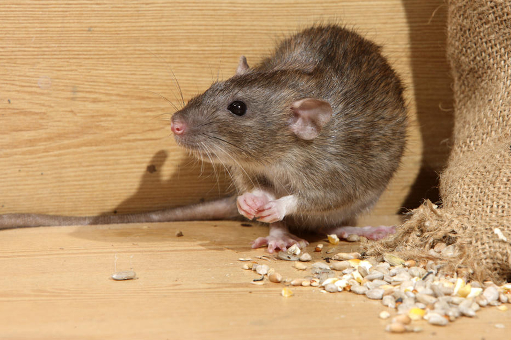 rodent control tips